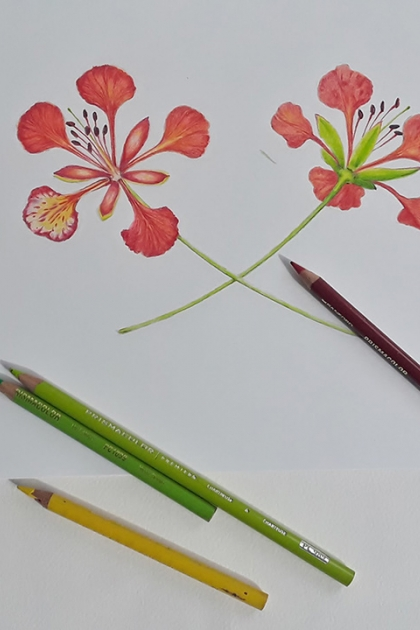 Drawing of ponciana flower